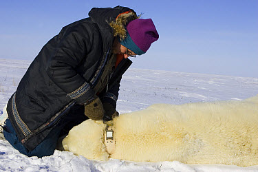 Polar Bear (Ursus maritimus) researcher Nick Lunn removes the radio collar from an anesthetized adult female, vulnerable, Wapusk National Park, Manitoba, Canada  -  Suzi Eszterhas