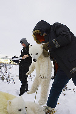 Polar Bear (Ursus maritimus) researcher Nick Lunn holds three to four month old cub by the scruff while administering an anesthetic, vulnerable, Wapusk National Park, Manitoba, Canada  -  Suzi Eszterhas