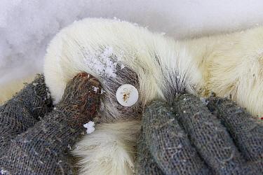 Polar Bear (Ursus maritimus) ear identification tag of adult female, vulnerable, Wapusk National Park, Manitoba, Canada  -  Suzi Eszterhas