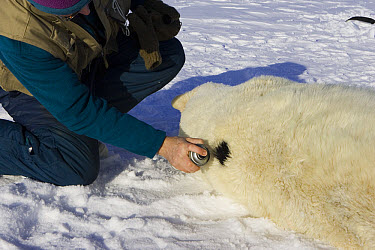 Polar Bear (Ursus maritimus) researcher Nick Lunn sprays black paint on an anesthetized adult female to prevent repeated tagging, Wapusk National Park, Manitoba, Canada  -  Suzi Eszterhas