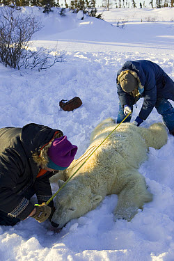 Polar Bear (Ursus maritimus) researchers measure the body length of an anesthetized adult female, vulnerable, Wapusk National Park, Manitoba, Canada  -  Suzi Eszterhas