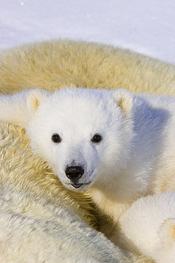 Polar Bear (Ursus maritimus) three to four month old cub peeking over mother after she is tranquilized by researchers, vulnerable, Wapusk National Park, Manitoba, Canada  -  Suzi Eszterhas