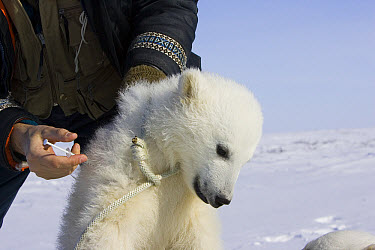 Polar Bear (Ursus maritimus) researcher Nick Lunn holds three to four month old cub by the scruff while administering a tranquilizer, vulnerable, Wapusk National Park, Manitoba, Canada  -  Suzi Eszterhas