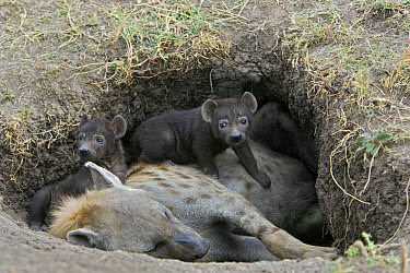 Spotted Hyena (Crocuta crocuta) 22 day old cubs crawling on mother in den, Masai Mara National Reserve, Kenya  -  Suzi Eszterhas