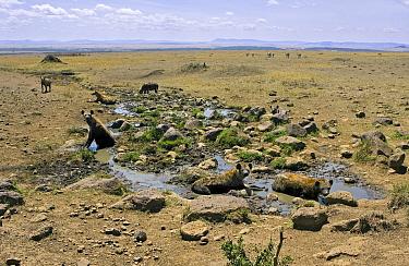 Spotted Hyena (Crocuta crocuta) group cooling off at mud wallow during midday, Masai Mara National Reserve, Kenya  -  Suzi Eszterhas