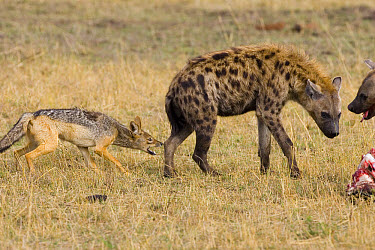 Spotted Hyena (Crocuta crocuta) with Black-backed Jackal (Canis mesomelas) trying to bite its leg, Masai Mara National Reserve, Kenya  -  Suzi Eszterhas