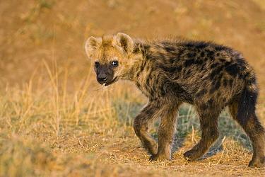 Spotted Hyena (Crocuta crocuta) 4 month old cub with wildebeest hair in mouth, Masai Mara National Reserve, Kenya  -  Suzi Eszterhas
