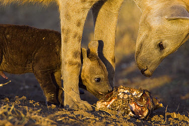 Spotted Hyena (Crocuta crocuta) mother and 8 to 10 week old cub chewing on wildebeest skull that was brought back to communal den, Masai Mara National Reserve, Kenya  -  Suzi Eszterhas