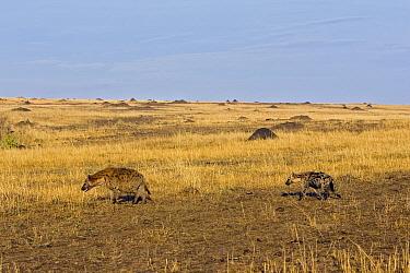 Spotted Hyena (Crocuta crocuta) mother and 6 month old cub walking to mud wallow, Masai Mara National Reserve, Kenya  -  Suzi Eszterhas
