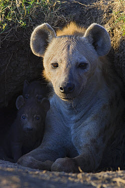 Spotted Hyena (Crocuta crocuta) 17 day old cub with mother in den at first light, Masai Mara National Reserve, Kenya  -  Suzi Eszterhas
