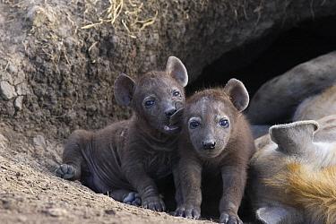 Spotted Hyena (Crocuta crocuta) 5 week old cubs in den beside sleeping mother one chewing on sibling's ear, Masai Mara National Reserve, Kenya  -  Suzi Eszterhas