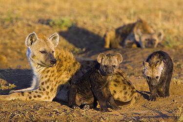 Spotted Hyena (Crocuta crocuta) mother and 12 to 14 week old cubs, Masai Mara National Reserve, Kenya  -  Suzi Eszterhas