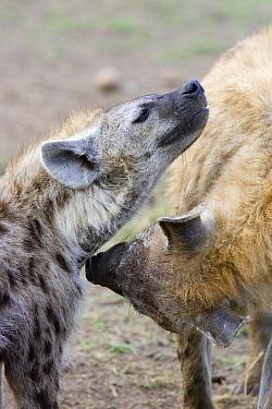 Spotted Hyena (Crocuta crocuta) greeting behavior, Masai Mara National Reserve, Kenya  -  Suzi Eszterhas