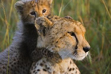 Cheetah (Acinonyx jubatus) eight week old cub playing with mother, Maasai Mara Reserve, Kenya  -  Suzi Eszterhas