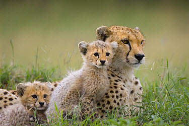 Cheetah (Acinonyx jubatus) mother and eight to nine week old cubs, Maasai Mara Reserve, Kenya  -  Suzi Eszterhas
