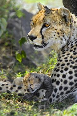 Cheetah (Acinonyx jubatus) mother and five day old cub, Maasai Mara Reserve, Kenya  -  Suzi Eszterhas