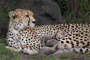 Cheetah (Acinonyx jubatus) mother and five day old cubs in nest, Maasai Mara Reserve, Kenya  -  Suzi Eszterhas