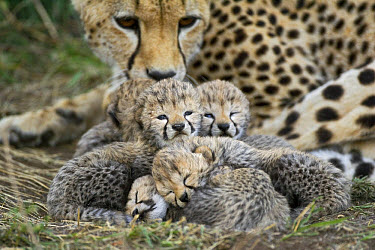 Cheetah (Acinonyx jubatus) eight day old cubs curled up together in nest with mother in background, Maasai Mara Reserve, Kenya  -  Suzi Eszterhas