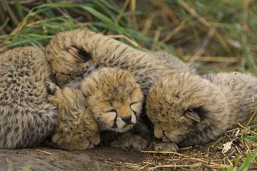 Cheetah (Acinonyx jubatus) nine day old cubs curled up together in nest, Maasai Mara Reserve, Kenya  -  Suzi Eszterhas