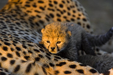 Cheetah (Acinonyx jubatus) eight day old cub crawling on mother at sunrise, Maasai Mara Reserve, Kenya  -  Suzi Eszterhas
