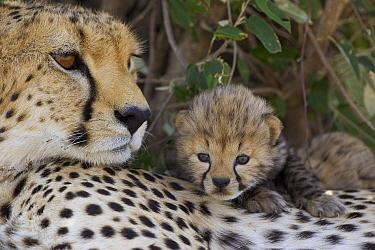 Cheetah (Acinonyx jubatus) mother and seven day old cub, Maasai Mara Reserve, Kenya  -  Suzi Eszterhas