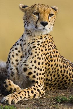 Cheetah (Acinonyx jubatus) adult female portait, Maasai Mara Reserve, Kenya  -  Suzi Eszterhas
