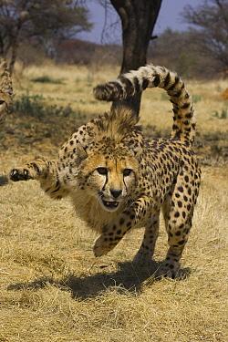 Cheetah (Acinonyx jubatus) attacking decoy (not visible), Cheetah Conservation Fund, Namibia  -  Suzi Eszterhas