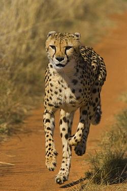 Cheetah (Acinonyx jubatus) rescued from trap on livestock farm, running on road at mealtime, Cheetah Conservation Fund, Namibia  -  Suzi Eszterhas
