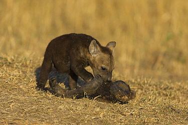 Spotted Hyena (Crocuta crocuta) eight week old cub chewing on Wildebeest skull, Masai Mara Conservancy, Kenya  -  Suzi Eszterhas