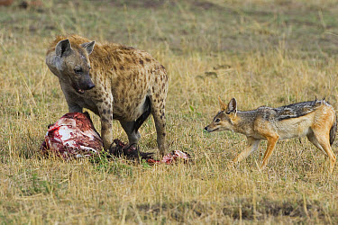 Spotted Hyena (Crocuta crocuta) at Wildebeest kill with Black-backed Jackal attempting to steal food, Masai Mara Conservancy, Kenya  -  Suzi Eszterhas