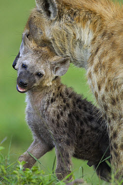 Spotted Hyena (Crocuta crocuta) mother lifting four month old cub, Masai Mara Conservancy, Kenya  -  Suzi Eszterhas