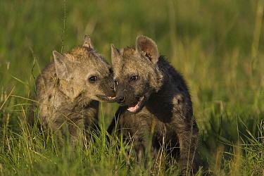 Spotted Hyena (Crocuta crocuta) four to five month old cubs playing, Masai Mara Conservancy, Kenya  -  Suzi Eszterhas