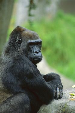 Western Lowland Gorilla (Gorilla gorilla gorilla) endangered, San Francisco Zoo, San Fransisco, California  -  Suzi Eszterhas