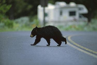 Black Bear (Ursus americanus) cub crossing the road, Yellowstone National Park, Montana  -  Suzi Eszterhas