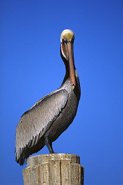 Brown Pelican (Pelecanus occidentalis) in breeding plumage, Elkhorn Slough, California  -  Suzi Eszterhas