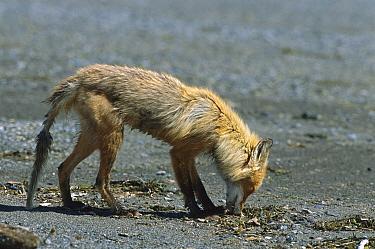 Red Fox (Vulpes vulpes) emaciated in spring, Katmai National Park, Alaska  -  Suzi Eszterhas