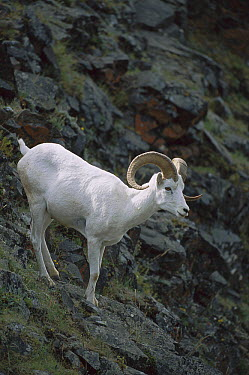 Dall's Sheep (Ovis dalli) on steep slope, Denali National Park, Alaska  -  Suzi Eszterhas