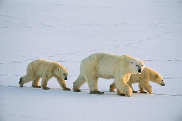 Polar Bear (Ursus maritimus) sow with twin cubs 11 months old, vulnerable, Churchill, Manitoba, Canada  -  Suzi Eszterhas
