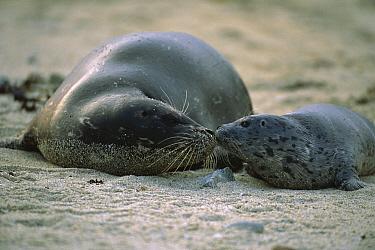 Harbor Seal (Phoca vitulina) pup and mother touching noses, Elkhorn Slough, California  -  Suzi Eszterhas