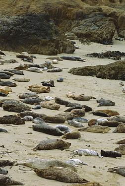 Harbor Seal (Phoca vitulina) rookery at Fanshell Beach, Elkhorn Slough, California  -  Suzi Eszterhas