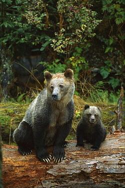 Grizzly Bear (Ursus arctos horribilis) sow and 6 month old cub sitting on a log, British Columbia, Canada  -  Suzi Eszterhas