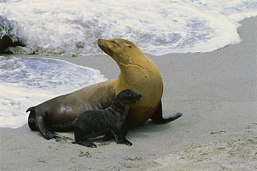 California Sea Lion (Zalophus californianus) mother and young pup at surf's edge, San Miguel Island, Channel Islands National Park, California  -  Suzi Eszterhas