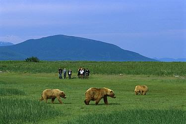 Grizzly Bear (Ursus arctos horribilis) group viewed by Timothy Treadwell group, Katmai National Park, Alaska  -  Suzi Eszterhas