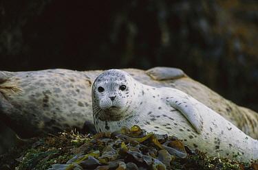 Harbor Seal (Phoca vitulina) pup resting on kelp, Point Lobos State Reserve, California  -  Suzi Eszterhas