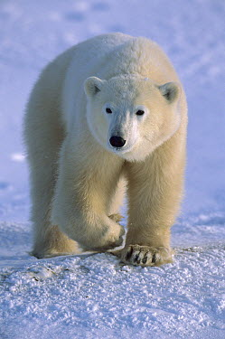 Polar Bear (Ursus maritimus) lone yearling on shore, Churchill, Manitoba, Canada  -  Suzi Eszterhas