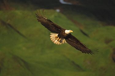 Bald Eagle (Haliaeetus leucocephalus) flying, Amaknak Island, Alaska  -  Suzi Eszterhas