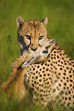 Cheetah (Acinonyx jubatus) with it's kill, Cheetah Conservation Fund, Otijwarongo, Namibia  -  Suzi Eszterhas