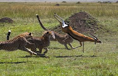 Cheetah (Acinonyx jubatus) three young males bringing down injured male Thomson's Gazelle, Masai Mara National Reserve, Kenya  -  Suzi Eszterhas