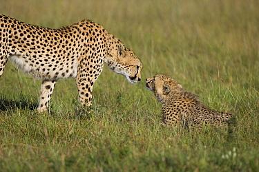 Cheetah (Acinonyx jubatus) mother greeting her 7 to 9 month old cub, Masai Mara National Reserve, Kenya  -  Suzi Eszterhas