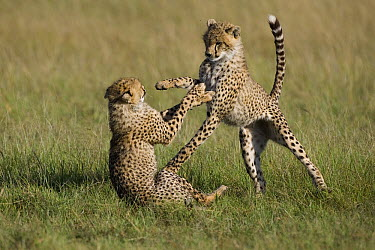 Cheetah (Acinonyx jubatus) 7 to 9 month old cubs playing, Masai Mara National Reserve, Kenya  -  Suzi Eszterhas